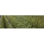 Agricola Franzese