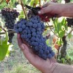 raccolta-uva